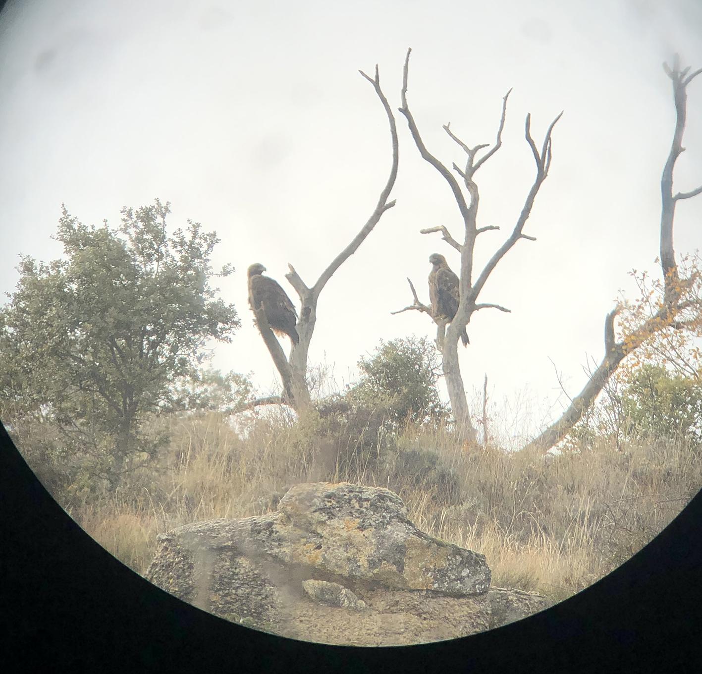 Excelente éxito reproductor de la pareja de águilas reales de Budia